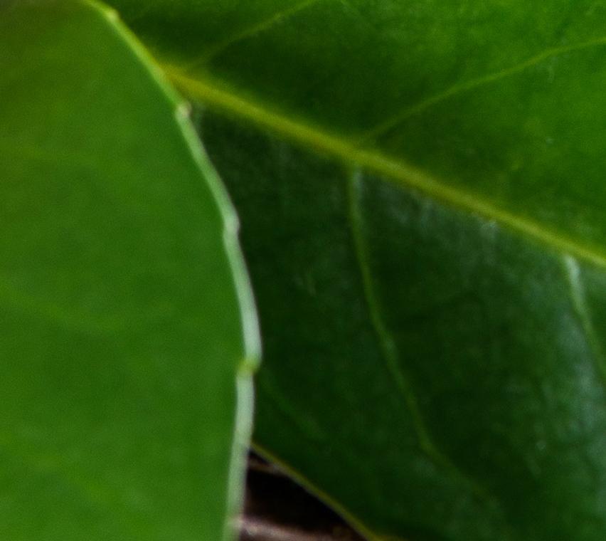 Argania Leaf