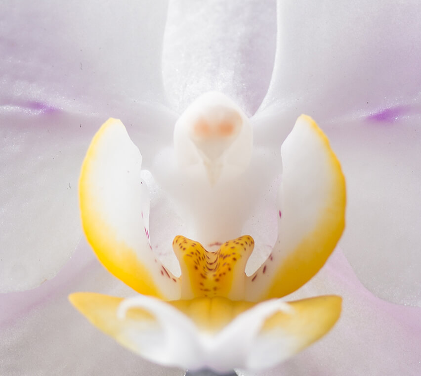 Japanese Stone Orchid