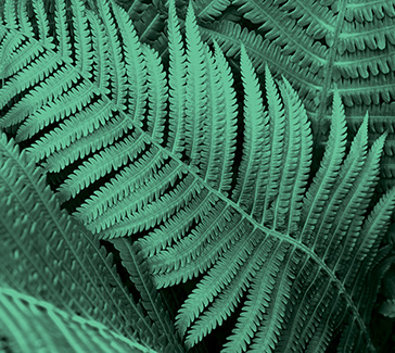 Tree Fern  Extract