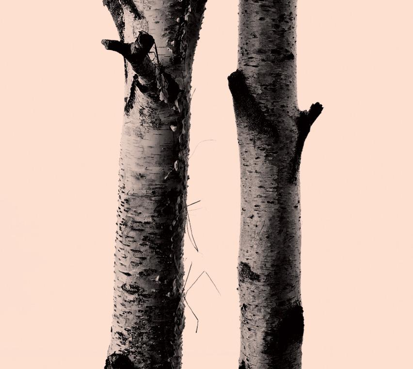 African Birch